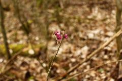 Daphne im Wald stockfotografie