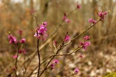 Daphne im Wald stockfotos