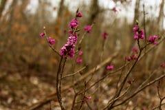 Daphne im Wald stockfoto