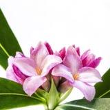 Daphne kwiat Odizolowywający na bielu Zdjęcia Royalty Free
