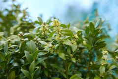 Daphne laureola shrub , commonly called spurge-laurel stock image