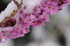 Daphne mezereum, commonly known as February daphne, in snow Royalty Free Stock Photography