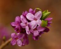 Daphne-mezereum -, das, klein schön ist, blüht Frühling lizenzfreie stockfotos