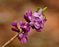 Daphne-mezereum -, das, klein schön ist, blüht Frühling stockfoto
