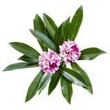 Daphne Odora Flowers Isolated stock photography