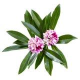 Daphne Odora kwiaty Odizolowywający fotografia stock