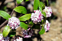 Daphne odora Royalty Free Stock Photography