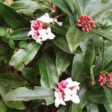 Daphneodora stock afbeelding