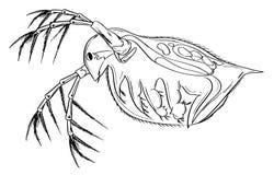 Daphnia Royalty-vrije Stock Fotografie