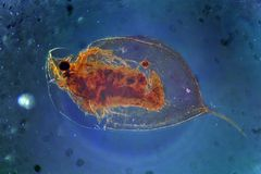 Daphnia Cladocera Magnification Royalty Free Stock Photography