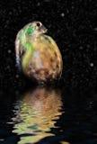 Daphnia in der Wassersäule, Besucher von einer anderen Welt Lizenzfreie Stockfotos