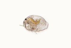 Daphnia Pleuroxus uncinatus, freshwater planktonic crustacean Royalty Free Stock Photos