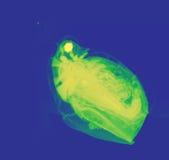 Daphnia, a small planktonic crustacean. Daphnia, a genus of small planktonic crustaceans,seen under high magnification microscope stock photos