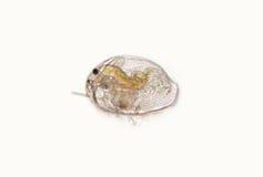 Daphnia uncinatus van Pleuroxus, zoetwater plankton schaaldier royalty-vrije stock foto's