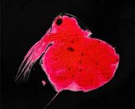 Daphnia van het de microscopiebeeld Zoetwater Aquatische Schaaldier van de Watervlo royalty-vrije stock fotografie