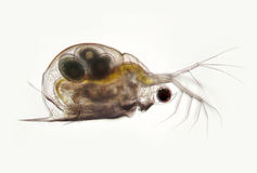 Daphnie planctonique probablement Daphniidae Scapholebris Mucronata de crustacés Zooplancton d'eau douce au microscope photos libres de droits