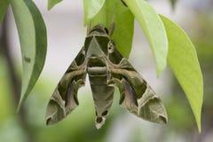Daphnis nerii Linneaus, Sphingidue family. Daphnis nerii Linneaus, Sphingidue butterfly Royalty Free Stock Image