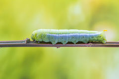 An Daphnis Nerii Royalty Free Stock Image