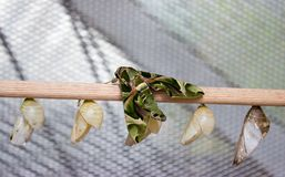 Oleander hawk-moth and butterfly hoods. Daphnis nerii, the oleander hawk-moth or army green moth is of the family Sphingidae. The moth is on wood along with royalty free stock image