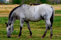 Dappel Grey Horse Stock Photography