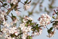 ` Dapple ` της Apple όμορφα άνθη μήλων καβουριών στην άνοιξη αργά το απόγευμα Στοκ φωτογραφία με δικαίωμα ελεύθερης χρήσης