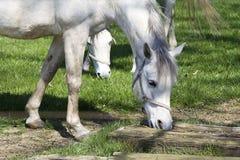 Dapple-γκρίζο άλογο Στοκ φωτογραφία με δικαίωμα ελεύθερης χρήσης