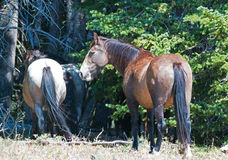 Dapple Bay Roan Mare in the Pryor Mountains Wild Horse Range on the Wyoming Montana state line Stock Image
