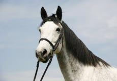 Dapple a cabeça de cavalo cinzenta com o chicote de fios de couro na cerca do verão Imagens de Stock