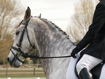 Dapple Dressage Horse. A dapple grey dressage horse waiting to enter the arena Stock Photos