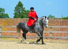 Dapple el caballo gris que es ejercitado, jinete que lleva el traje isabelino Foto de archivo libre de regalías