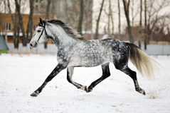 Dapple-grå färger arabisk häst på snöfält Royaltyfria Foton