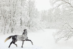 Dapple-grå färger arabisk häst på snöfält Arkivfoto