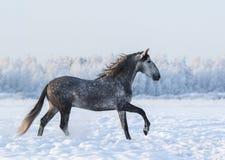 Dapple-grå färger häst som cantering på fält på vintertid Royaltyfria Bilder