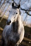 Dapple-gray horse. In the corral stables Stock Photography
