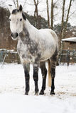 Dapple-gray horse. In the corral stables Royalty Free Stock Images