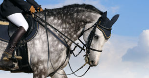Dapple-gray horse. On blue sky Stock Photo