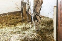 Dapple gray horse eating hay at corral indoors. Alone sad animal having food at farm.  stock photo