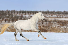 Dapple gray horse galloping in snow field Stock Photos