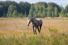 A dapple gray horse grazing in the flower meadow. Skyline forest Stock Images
