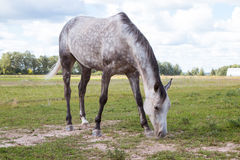 The dapple gray horse grazing in the meadow. Stock Photo