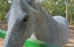 The dapple gray horse lipizzan Royalty Free Stock Images