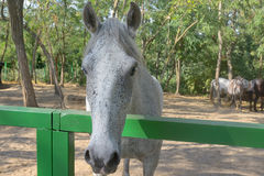 The dapple gray horse lipizzan Royalty Free Stock Photos
