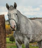 Dapple gray horse. This is a photo of a dapple gray horse Stock Photography