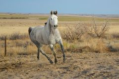 Dapple Gray Horse Running in a Field. With Prairie and Canyon Background Royalty Free Stock Images