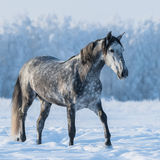 Dapple gray horse on the snowy field. Dapple gray horse walks on the winter field Royalty Free Stock Photography