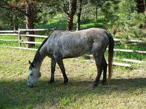 Dapple Gray Mare Stock Images