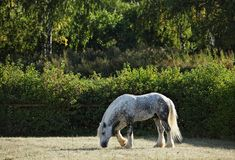 Free Dapple Gray Percheron Draft Horse Grazing In Meadow Royalty Free Stock Photos - 113473938