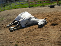 Dapple Gray Quarter Horse Gelding Sleeping. Dapple gray american quarter horse gelding sleeping  on shavings in the sun Stock Photos