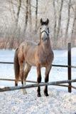 Dapple-grey arabian horse in motion on snow ranch