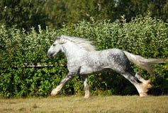 Dapple grey drum horse stallion runs Stock Photos